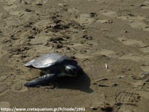 cret_aquar_marine_turtle_release3
